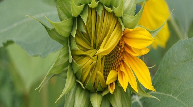 sun-flower-1942825_1920
